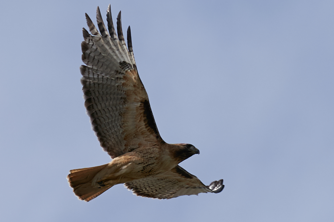 Hawk2.jpg