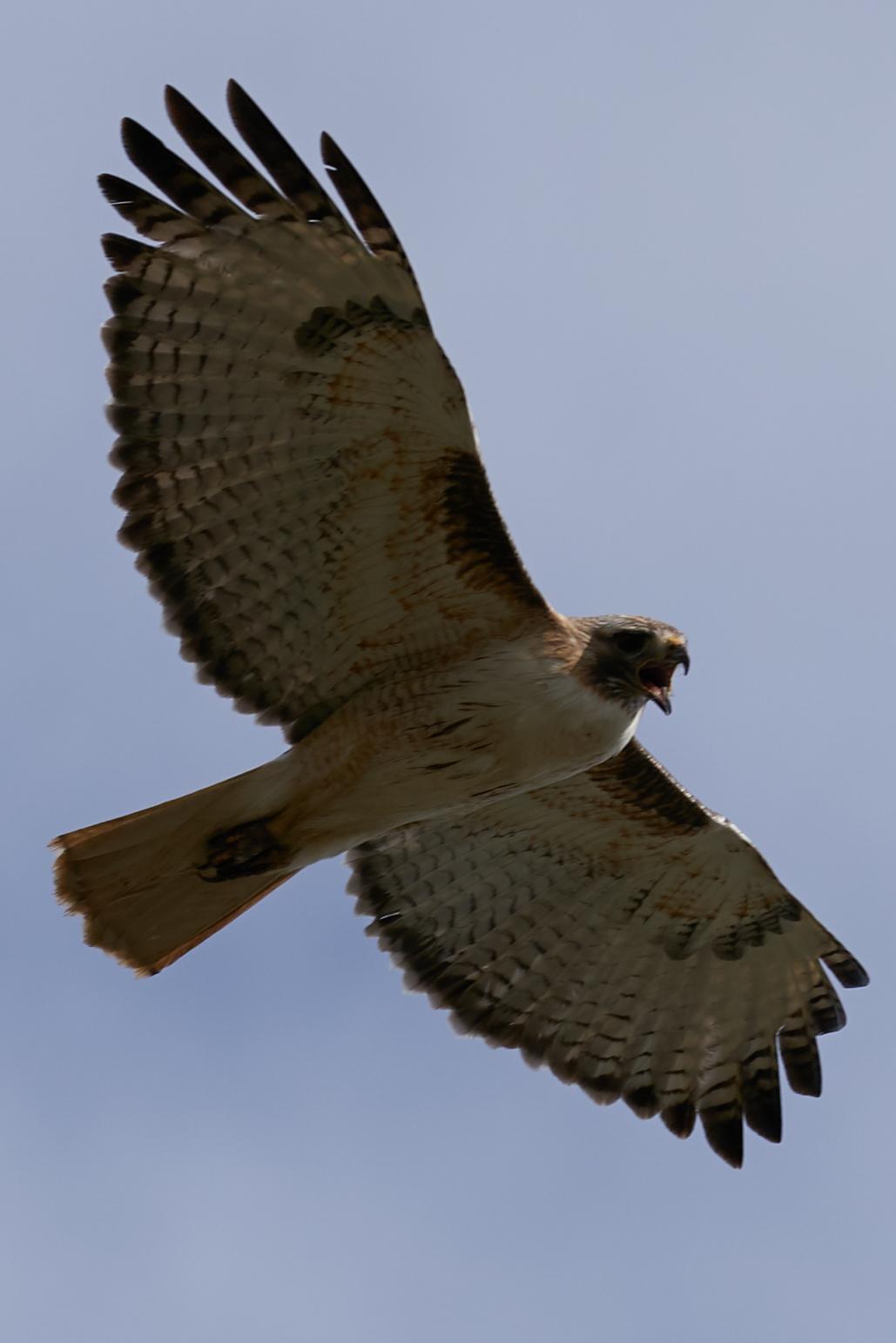 Hawk4.jpg